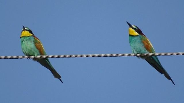 Żołna - niewielki, długość ciała nie przekracza 25 cm, ptak o wielobarwnym umaszczeniu. Można się dopatrzyć kolorów takich jak rdzawy brąz, błękit i złotooliwkowy. To wybitnie ciepłolubny gatunek.