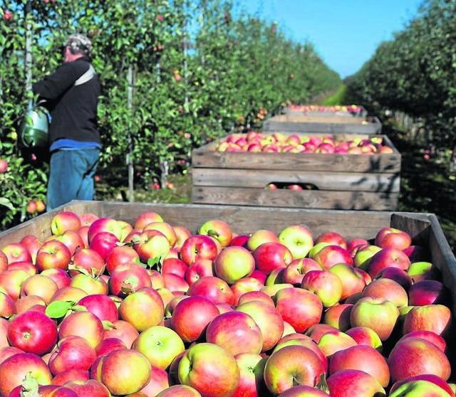 Brakuje jabłek. Ceny w góręPrzerażeni rosyjskim embargiem sadownicy, chcieli jak najszybciej pozbyć się jabłek, nawet poniżej kosztów produkcji . Teraz tego żałują