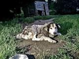 Max umierał w męczarniach. Został odebrany przez OTOZ Animals [ZDJĘCIA]