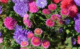 Wrzesień - czas sadzenia i przesadzania kwiatów