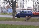 Dziki w Gorzowie Wielkopolskim. Wychodzą całymi stadami! - Boimy się o dzieci - mówią mieszkańcy