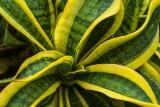 Ośle uszy, czyli sansewieria – roślina jak najmniej wymagająca