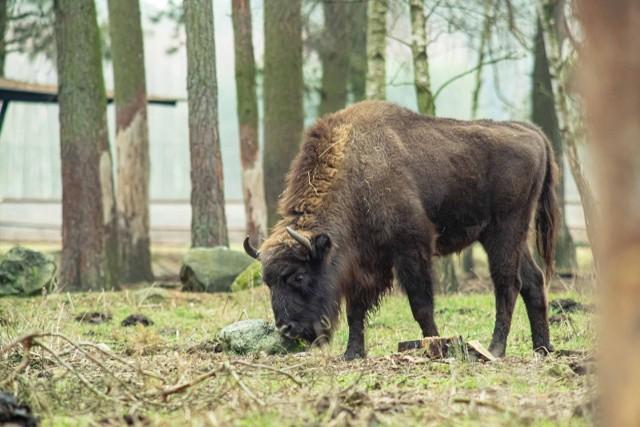 W Kiermusach koło Tykocina znajduje się prywatna hodowla żubrów w Polsce, którą założono ponad 10 lat temu.  Obecnie żyje tutaj sześć zwierząt, w tym trzy młode. Żubrom grozi śmierć!