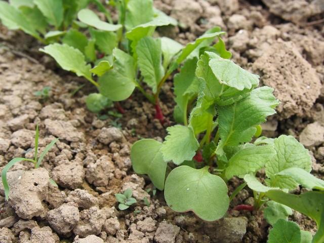 Rzodkiewka w ogrodzieRzodkiewka to jedno z warzyw, które warto wysiać w kwietniu do gruntu.