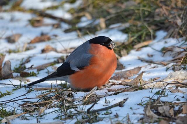 Gila pozna każdy... W zimie przysmakiem gili są nasiona klonów ukryte w skrzydlakach.