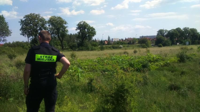 Barszcz Sosnowskiego: Strażnicy apelują o ostrożność