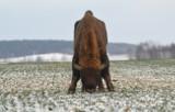 Kopna Góra. Zagroda pokazowa żubrów powstaje w Nadleśnictwie Supraśl (zdjęcia, wizualizacje)