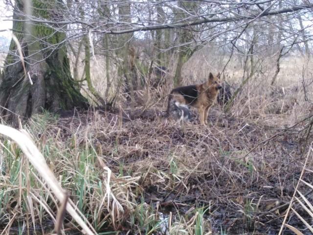 Dwa psy były uwięzione na mokradłach nad rzeką Widawą.