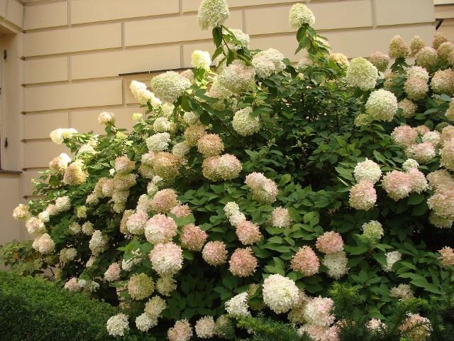 Jeśli chcemy rozmnożyć liściaste krzewy ozdobne, możemy przygotować z nich sadzonki.