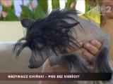 Grzywacz chiński - pies bez sierści [wideo]