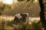 Dodatkowe dopłaty do krów i świń o krok bliżej. Sejm przyjął nowelizację ustawy