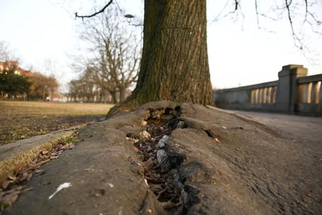 Drzewa na bulwarach wiślanych w Krakowie starają się uwolnić z betonowego uścisku. Potrzebują pomocy.