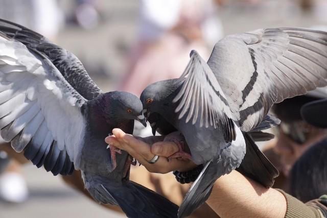 Problem gołębi występuje w wielu miastach.