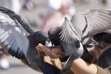 ZIELONA GÓRA. Gołębie brudzą, gdzie się da. Ludzie mają dość. Czy powinno się dokarmiać gołębie w miastach?