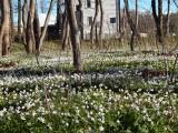 """Przepiękne dywany kwiatów w usteckim lasku. Mieszkańcy obawiali się, że zostaną """"wysprzątane"""""""