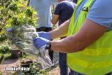 Emerytka uprawiała w ogrodzie marihuanę. Miała też na posesji 11 kilogramów suszu. Grozi jej do 10 lat więzienia