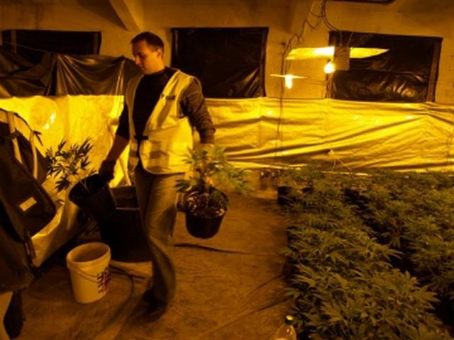 15 październiku policja zlikwidowała plantację w Iłowej