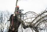 Wycinka drzew: co się zmieni po nowelizacji ustawy? Będzie obowiązek zgłaszania wycinki