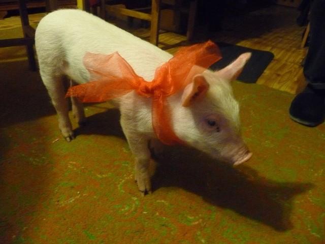 Jak świnka Peppa stała się pupilem.