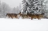 Wilki w Beskidach na szlaku górskim przebijają się przez zaspy śniegu. Zarejestrowała je kamera. Piękne zwierzęta