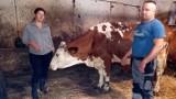 Ropa. Piorun zabił trzy krowy. Zwierzęta były w oborze. Rolnicy szacują straty na około 18 tysięcy złotych [DRASTYCZNE ZDJĘCIA]