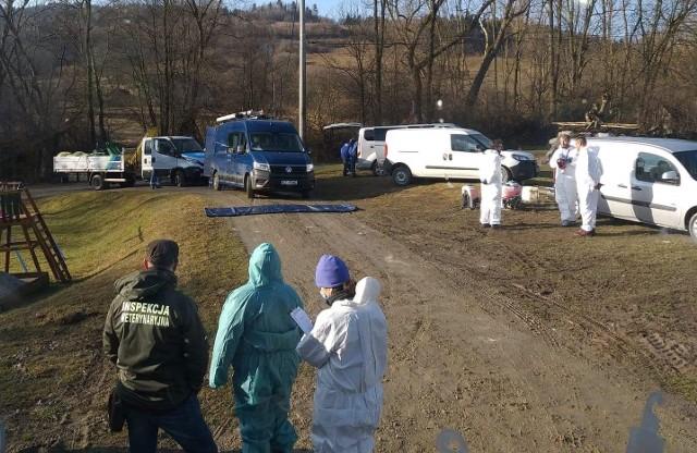 W miejscowości Krasne Potockie kilka dni temu zagazowano 19 tys. drobiu. Wcześniej kilka kur niosek z tego gospodarstwa trafiło do Stronia w gminie Łukowica. Tam także potwierdzono wirusa ptasiej grypy.