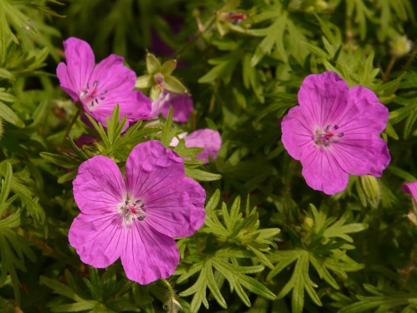 Bodziszek czerwony (Geranium sanguineum) rośnie dziko w...