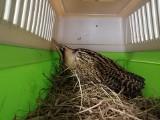 Egzotyczny ptak leżał na chodniku w Gdyni. Pomógl mu Ekopatrol [zdjęcia]