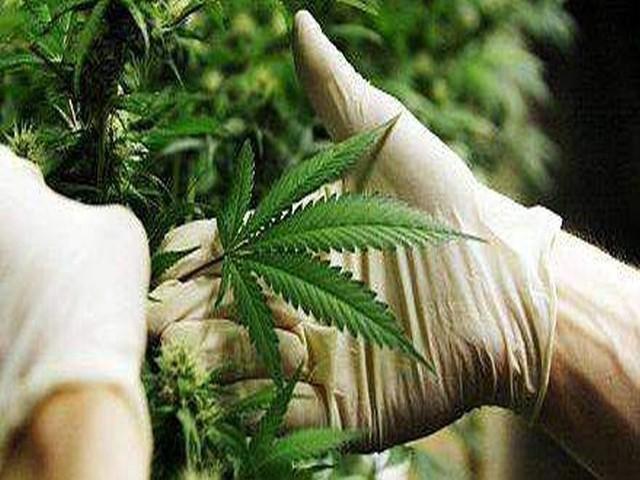 Obecnie prawo w Polsce wyklucza zastosowanie marihuany w medycynie.