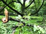 Burza w Łodzi. Silny wiatr oderwał konary dębu Fabrykant w parku Klepacza. Słynny dąb jest mocno uszkodzony ZDJĘCIA