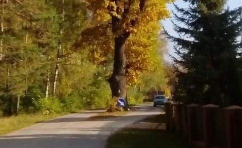 Czy dąb stojący na środku drogi zostanie wycięty? Decyzja nie została jeszcze podjęta.