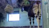 Wrocławskie zoo zebrało 27 kilogramów telefonów, by uratować okapi z Konga