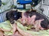 Uratowali skatowanego psa. Właściciel mówił, że zjadł go na obiad