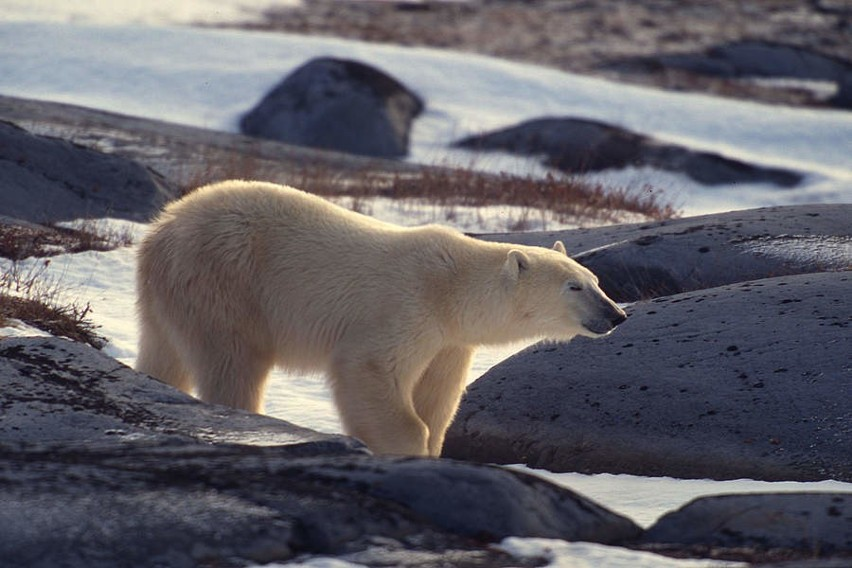 Niedźwiedź polarny (Ursus maritimus) Naukowcy oceniają, że...