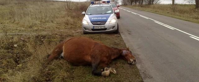 Potrącony koń na poboczu drogi pod Szczecinkiem, samochód z rozbitym przodem zdołał jeszcze ujechać jakieś sto metrów.