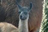 W zoo we Wrocławiu urodziła się lama. Zobaczcie, jak wygląda