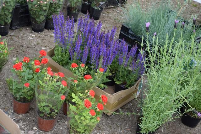 Na dzisiejszej giełdzie samochodowej przy ul. Spichlerzowej w Rzeszowie sporym powodzeniem cieszyły się kwiaty i krzewy do ogrodu i na balkon. Wybór był spory, a ceny przystępne. Szczegóły na kolejnych slajdach