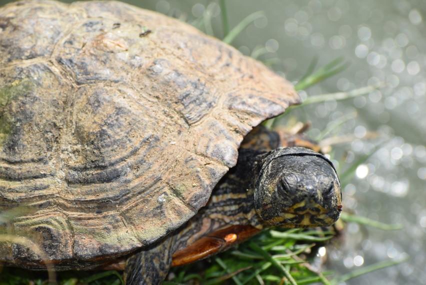 Żółwie w centrum Sieradza
