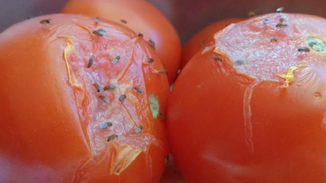 """Muszki owocowe pojawiają się """"znikąd"""" i kolonizują nasze kuchnie. Jak się ich pozbyć?CZYTAJ NA KOLEJNYCH SLAJDACH >>>>>"""
