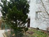 Drzewo niespodzianka w ogródku na wrocławskim Sępolnie