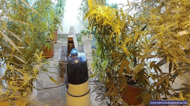 Nielegalna plantacja marihuany