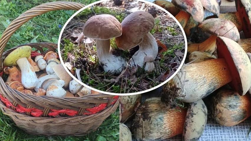 Sezon na grzyby trwa w pełni. W świętokrzyskich lasach jest...