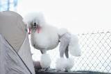 Wystawa psów w Kargowej. Takie piękne psiaki czarowały widzów swoimi wdziękami. Zobaczcie!