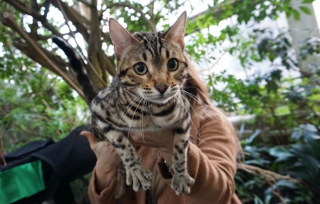 W niedzielę w Palmiarni Poznańskiej można było podziwiać koty rasowe. Wystawę zorganizował Klub Miłośników Kotów Rasowych Felis Posnania.Zobacz kolejne zdjęcia ---->