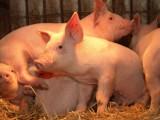 Czy rolnik może przejść szkolenie, by sam mógł ubić własną świnię?