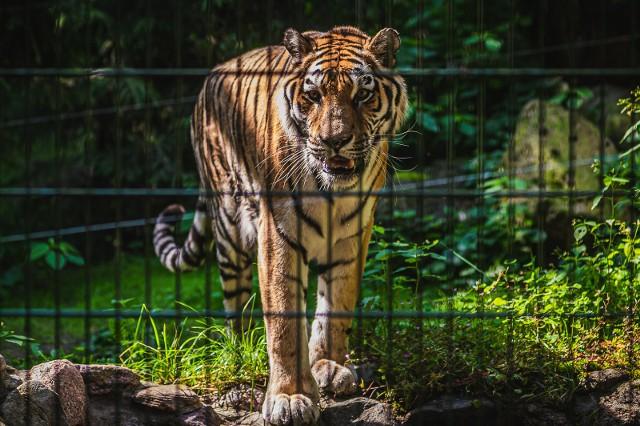 Światowy Dzień Tygrysa w gdańskim zoo 29.07.2019