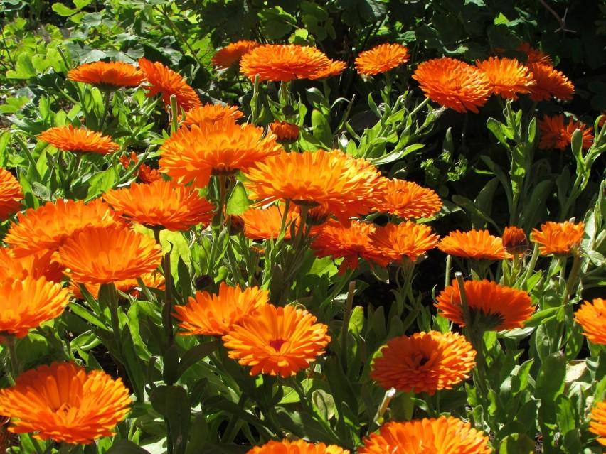 W żółtopomarańczowych kwiatkach nagietka tkwi potężna siła...