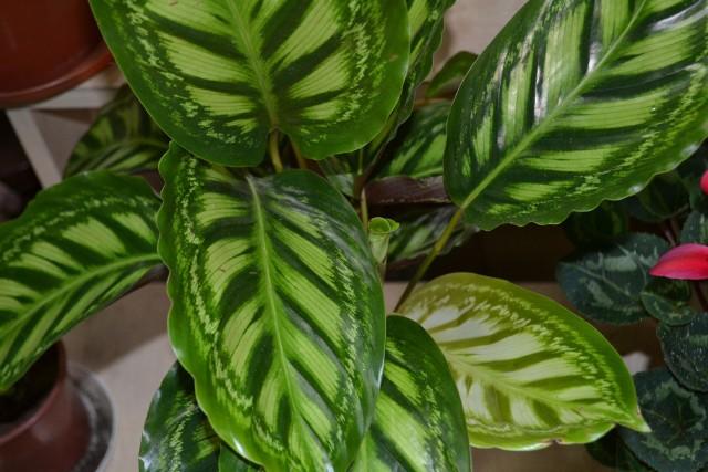 Kalatea roseopictaW pielęgnacji kalatei szczególną uwagę zwróć na podlewanie i wilgotność powietrza. Tylko często doglądana roślina ma szansę na dłużej zagościć w naszym mieszkaniu.