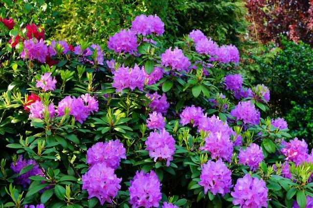 Wiele rododendronów jest odpornych na mróz. Ale i one wymagają przygotowania do zimy.