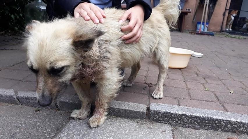 Mieszkanka Gdyni znalazła pod bramą skatowanego psa (4.08.2019). Schronisko szuka sprawcy pobicia